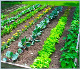 Kako raste zelenjava na vrtu? - Turčija